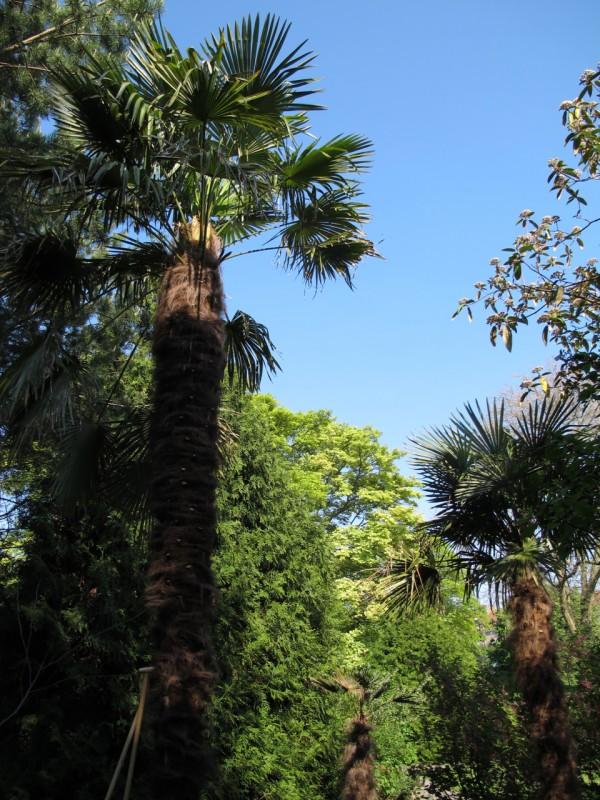 Hørpalme Trachycarpus fortunei Botanisk Have København Danmark