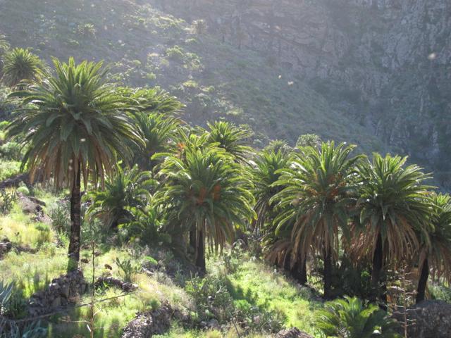 Phoenix canariensis Tenerife