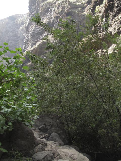 Salix canariensis Tenerife Masca Hiking