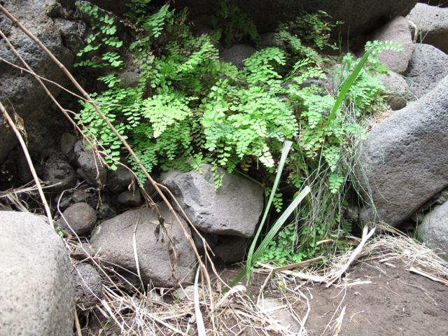 Adiantum Tenerife Masca Hiking