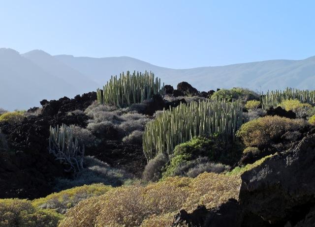 Euphorbia canariensis Malpais de Güimar