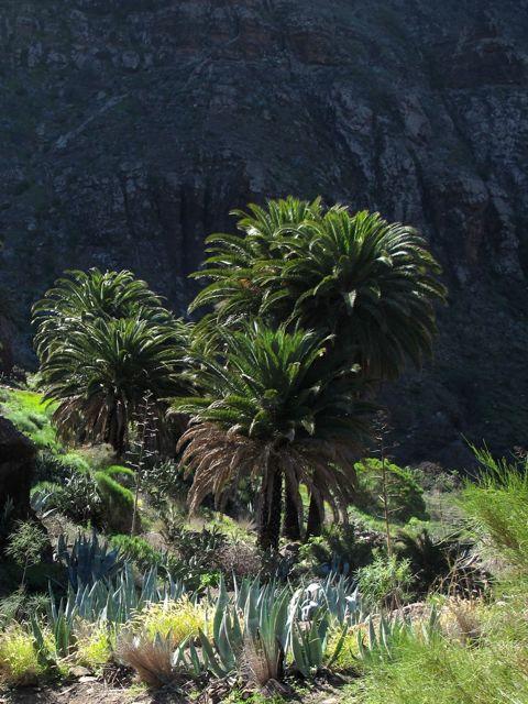 Phoenix canariensis Teno Tenerife