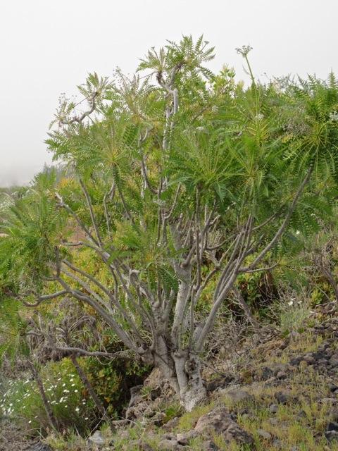 Sonchus canariensis Pinus canariensis