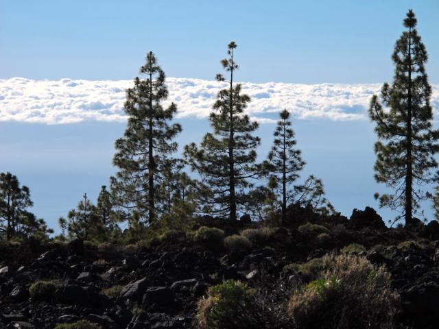 Pinus canariensis Tenerife