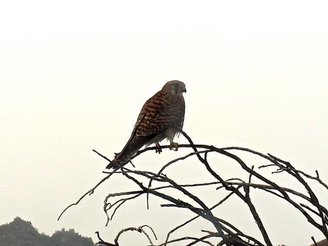 Falco tinnunculus ssp. canariensis