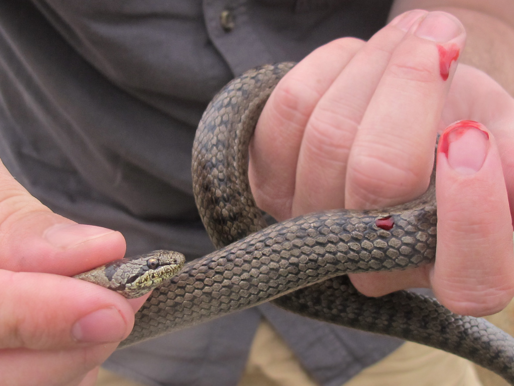 Coronella austriaca snake bite