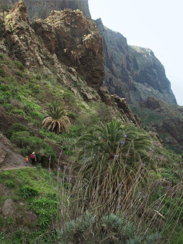 Phoenix canariensis Masca Tenerife